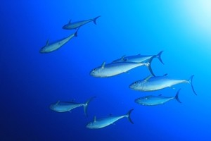 WTO rules against U.S. in 'dolphin-safe' tuna labeling dispute.
